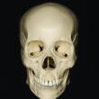 skull_reference_01