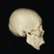 skull_reference_02