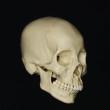 skull_reference_03