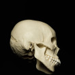 skull_reference_05