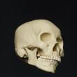 skull_reference_06